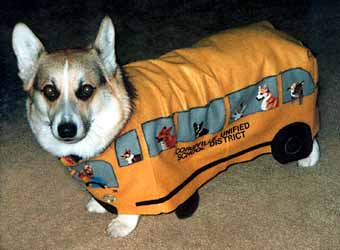 Zippy the Corgi wears a school bus Halloween costume, looking very unhappy.